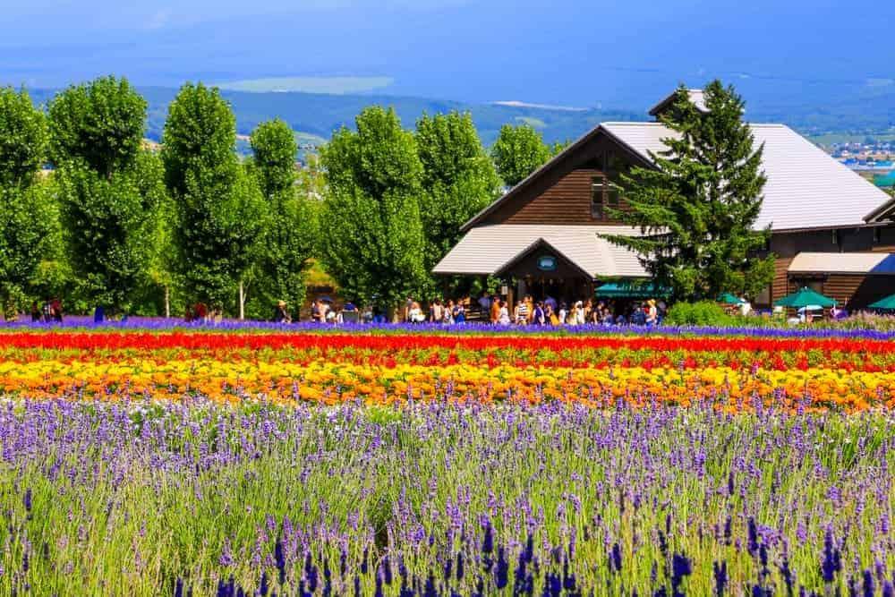 Venture Thrill_Flower Destinations in Japan_Farm Tomita