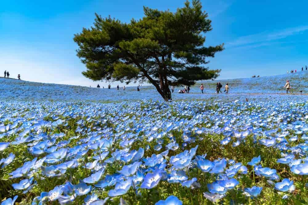 Venture Thrill_Flower Destinations in Japan_Hitachi Seaside Park